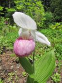 Cypripedium reginae  (cypripède royal) [Showy lady's-slipper]