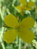 Conringia orientalis