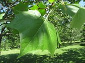 Platanus occidentalis