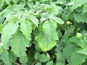 Physalis pubescens var. integrifolia