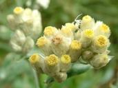 Pseudognaphalium macounii