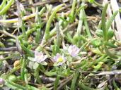 Spergularia canadensis