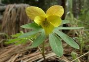 Viola lobata ssp. lobata