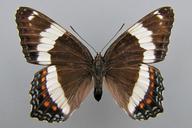 Limenitis arthemis