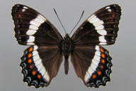Limenitis arthemis(F.) [Redspotted Purple]
