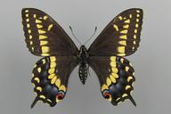 Papilio polyxenes asterias Stoll [Parsleyworm]