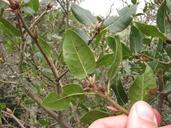 Quercus wislizeni var. frutescens