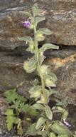 Pseudorontium cyathiferum