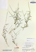 Muhlenbergia schreberi