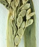 Panicum oligosanthes