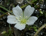 Limnanthes alba ssp. versicolor