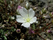 Limnanthes alba