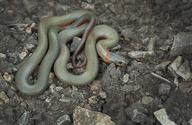 Diadophis punctatus modestus