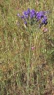 Triteleia laxa