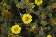 Deinandra corymbosa