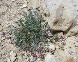 Astragalus mohavensis var. hemigyrus