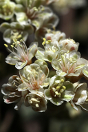 Eriogonum breedlovei