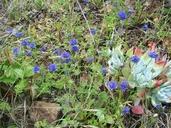 Gilia capitata ssp. pacifica