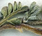 Astragalus ravenii