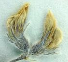 Astragalus sabulonum