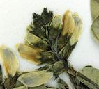Astragalus iodanthus var. diaphanoides
