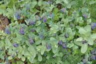 Cerinthe major ssp. purpurascens