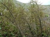 Ribes menziesii