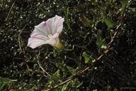 Calystegia macrostegia ssp. intermedia