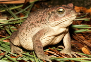 Mccoy's Toad
