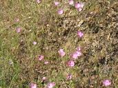 Clarkia gracilis ssp. sonomensis