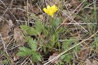 Ranunculus californicus var. californicus