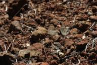 Cordylanthus pringlei