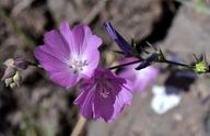 Sidalcea multifida