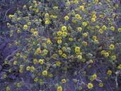 Deinandra corymbosa ssp. corymbosa
