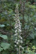 Delphinium californicum