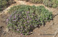 Nama hispidum var. spathulatum