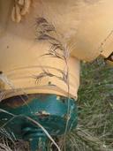 Bromus madritensis ssp. madritensis