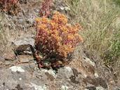 Dudleya cymosa ssp. cymosa