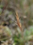 Festuca bromoides