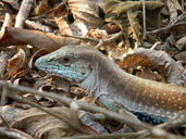 """<strong>Location:</strong> Ocozocuautla, Chiapas (Mexico)<br /><strong>Author:</strong> <a href=""""http://calphotos.berkeley.edu/cgi/photographer_query?where-name_full=Ruth+Percino+Daniel&one=T"""">Ruth Percino Daniel</a>"""