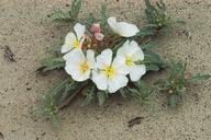 Oenothera deltoides ssp. piperi