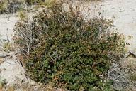 Acalypha californica