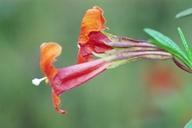 Mimulus aurantiacus var. aurantiacus