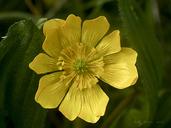 Ranunculus californicus var. cuneatus