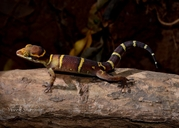 Daccan Ground Gecko