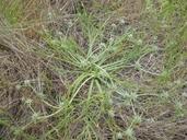 Eryngium pendletonense