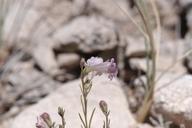 Penstemon laricifolius ssp. laricifolius