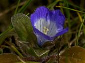 Phacelia insularis var. continentis