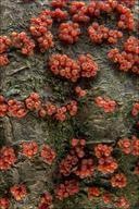 Nectria cinnabarina