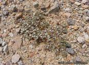 Chorizanthe spinosa